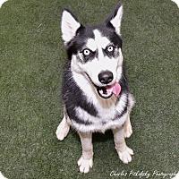 Adopt A Pet :: Miki - Burlingame, CA