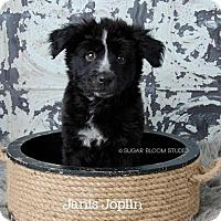Adopt A Pet :: Janis Joplin - Denver, CO