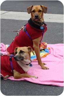 Beagle Mix Dog for adoption in Tustin, California - Kingsley and Stanley