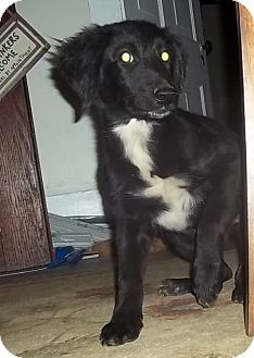 Border Collie/Setter (Unknown Type) Mix Puppy for adoption in Allentown, Pennsylvania - Janie