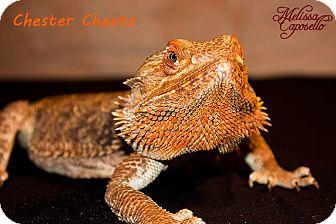 Lizard for adoption in Arlington, Texas - Chester Cheeto