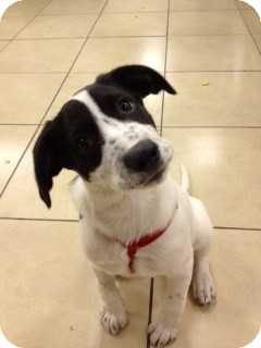 Dalmatian/Labrador Retriever Mix Puppy for adoption in Northumberland, Ontario - aspen(coursity post)