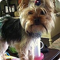 Adopt A Pet :: *Romeo - PENDING - Westport, CT