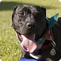Adopt A Pet :: Beau - Holmes Beach, FL