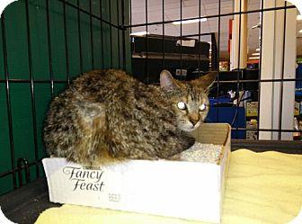Domestic Shorthair Cat for adoption in Avon, Ohio - Mavis