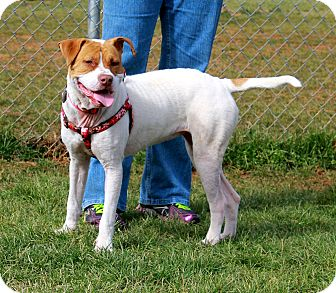 American Bulldog/American Pit Bull Terrier Mix Dog for adoption in Knoxville, Tennessee - Penny