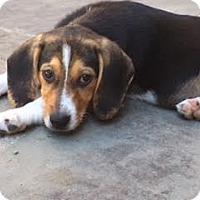 Adopt A Pet :: Baby Louisa May - Rockville, MD