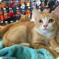 Adopt A Pet :: Little Tom - Clarksville, TN