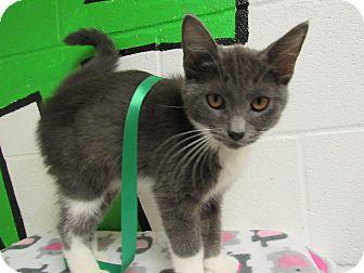 Domestic Mediumhair Cat for adoption in Rome, Georgia - 16C-1128 (9/19)