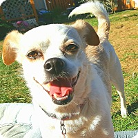 Pug/Beagle Mix Dog for adoption in Andalusia, Pennsylvania - Cameo