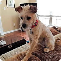 Miniature Schnauzer Mix Dog for adoption in Rochester, New York - Loki