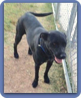 Labrador Retriever Mix Dog for adoption in Pampa, Texas - Claira Cowgirl 24780