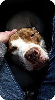 Pit Bull Terrier/Mastiff Mix Dog for adoption in Staunton, Virginia - Maximus
