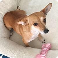 Adopt A Pet :: PEARL - 3 YEAR CHIHUAHUA FEMAL - Mesa, AZ
