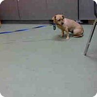 Chihuahua Mix Dog for adoption in San Bernardino, California - URGENT 10/31 @ DEVORE