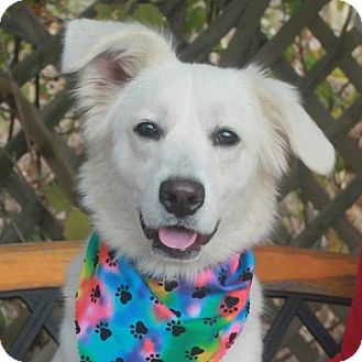 Retriever (Unknown Type)/Great Pyrenees Mix Dog for adoption in Garfield Heights, Ohio - Carolina-PENDING