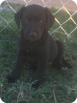 Labrador Retriever/Australian Shepherd Mix Puppy for adoption in Yukon, Oklahoma - Lisa's Quito