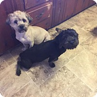 Lhasa Apso/Poodle (Miniature) Mix Dog for adoption in Parker Ford, Pennsylvania - Carson