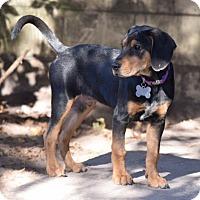 Adopt A Pet :: Petey - Orlando, FL