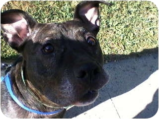 American Pit Bull Terrier Mix Dog for adoption in Rancho Cordova, California - Roxy
