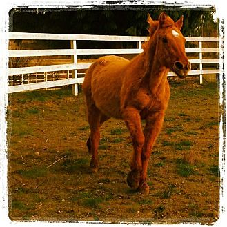 Quarterhorse Mix for adoption in Kingston, Washington - BENJAMIN (Gentle Ben)