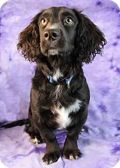 Cocker Spaniel/Dachshund Mix Dog for adoption in Westminster, Colorado - Chaquita