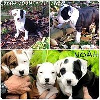 Adopt A Pet :: Noah - Sylvania, OH