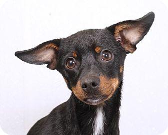 Miniature Pinscher Puppy for adoption in Sudbury, Massachusetts - Kippy
