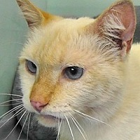 Siamese Cat for adoption in Redondo Beach, California - Blaze