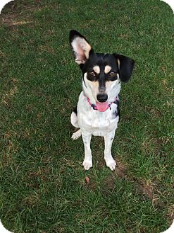 rat terrier australian cattle dog mix saddle brook nj australian cattle dog rat terrier mix 7854