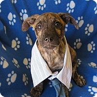 Adopt A Pet :: Barley - Groton, MA