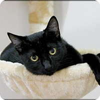 Adopt A Pet :: Noir - Spring, TX
