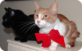 Domestic Shorthair Cat for adoption in Lawrenceville, Illinois - Eve
