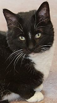 Domestic Shorthair Cat for adoption in Savannah, Missouri - Hank