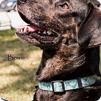 Adopt A Pet :: Bowie - tampa, FL