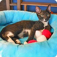 Adopt A Pet :: Cornelius - Glendale, AZ