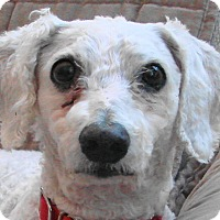 Bichon Frise Mix Dog for adoption in St Louis, Missouri - Toby
