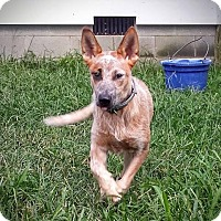 Australian Cattle Dog Dog for adoption in Richmond, Virginia - Patch