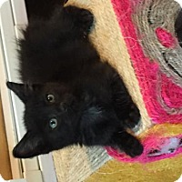 Domestic Mediumhair Cat for adoption in Flint HIll, Virginia - Harley