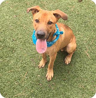 Labrador Retriever/Shepherd (Unknown Type) Mix Dog for adoption in Atlanta, Georgia - Cross