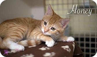 Domestic Shorthair Kitten for adoption in Richardson, Texas - Honey-13445