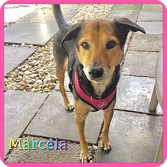 Shepherd (Unknown Type) Mix Dog for adoption in Hollywood, Florida - Marcela
