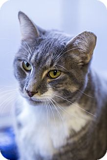 Domestic Shorthair Cat for adoption in Indianapolis, Indiana - Bambi