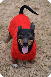 Miniature Pinscher/Dachshund Mix Dog for adoption in Brattleboro, Vermont - Gonzo