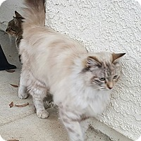 Adopt A Pet :: Snow Flake - Yuba City, CA