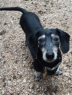 Dachshund Dog for adoption in Humble, Texas - Oscar II