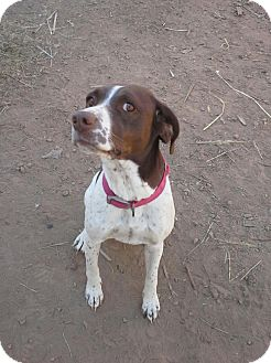 German Shorthaired Pointer/English Springer Spaniel Mix Dog for ...
