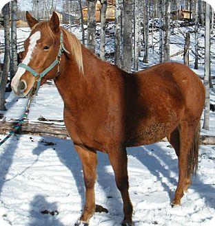 Quarterhorse for adoption in Sundre, Alberta - Java