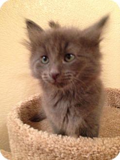 Russian Blue Kitten for adoption in Fountain Hills, Arizona - REX