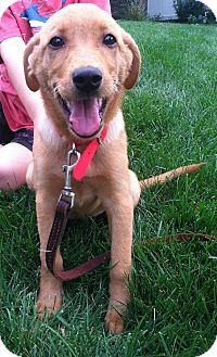 Golden Retriever/Irish Setter Mix Puppy for adoption in Columbus, Ohio - Ginny